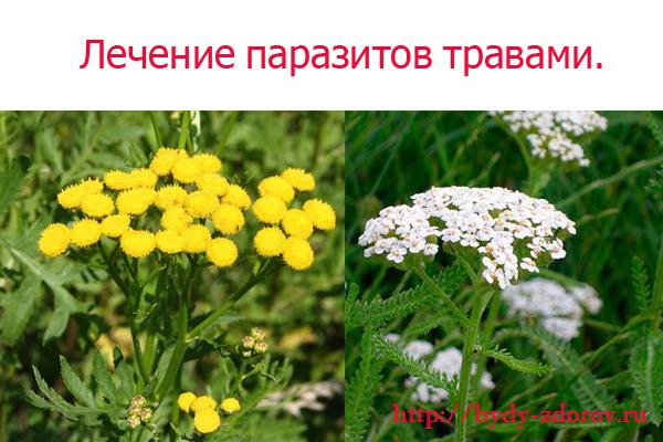 травы против глистов и паразитов